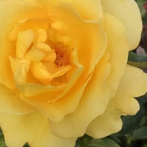 Violets and Tea provide luxury English rose garden tours